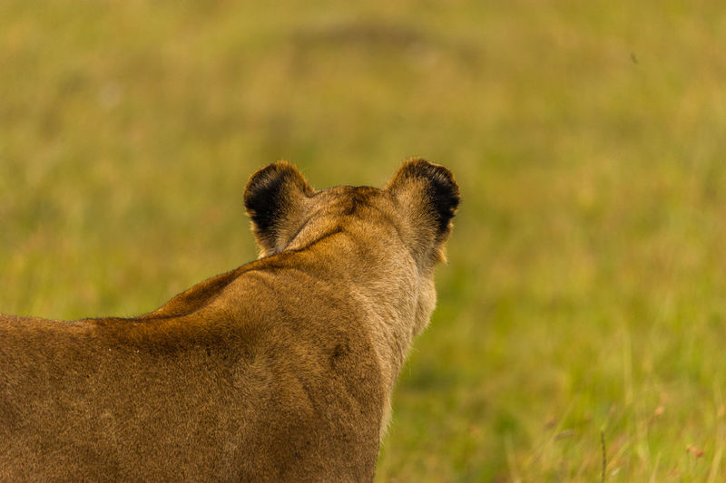 Close-up rear view of lion outdoors