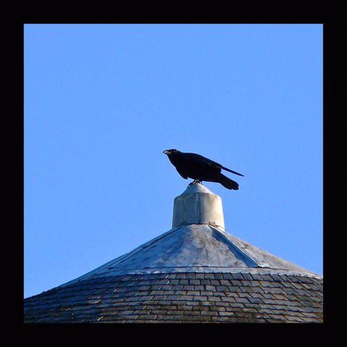 << Je hais les testaments et je hais les tombeaux ; Plutôt que d'implorer une larme du monde, Vivant, j'aimerais mieux inviter les corbeaux À saigner tous les bouts de ma carcasse immonde ...>> Charles Baudelaire, mort un 31 août en 1867. Corbeau Corneille Crow Bird Photography Birds_collection EyeEm Birds Roof Rooftop Touraine Eyem Best Shots