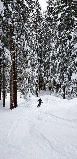 Tree Snow Pets Cold Temperature Winter Dog Polar Climate Pinaceae Forest Moose Deep Snow Ski Track Ski Lift Skiing Ski Resort  Powder Snow Ski Holiday
