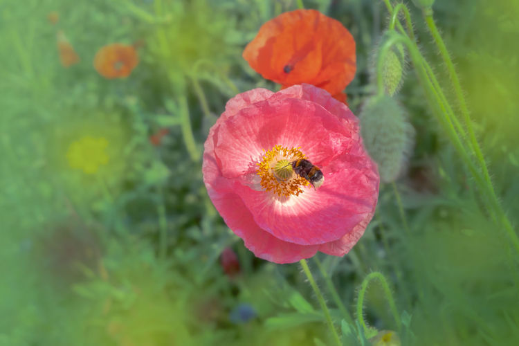 Flowering Plant Flower Plant Freshness Beauty In Nature Vulnerability  Fragility Growth Close-up Petal Inflorescence Flower Head Poppy No People Nature Day Green Color Focus On Foreground Pink Color Selective Focus Outdoors Mohnblüte
