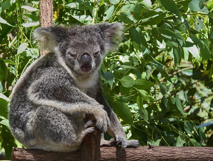 Koala on tree during sunny day