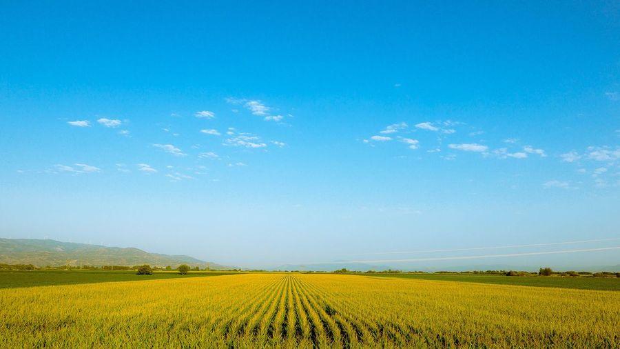 Corn fields of Aydın Blue Sky Corn Fields Highway Photography Landscape Leica Nature Plains Türkiye Yellow First Eyeem Photo