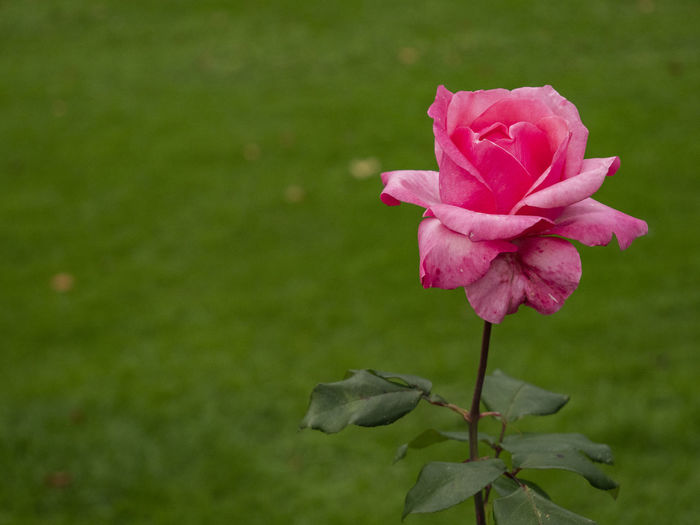 Rose in Autumn Plant Beauty In Nature Flower Flowering Plant Pink Color Fragility Vulnerability  Petal Close-up Freshness Inflorescence Rosé Flower Head Growth Rose - Flower Nature No People Focus On Foreground Plant Stem Leaf Outdoors Autumn Switzerland Schadaupark