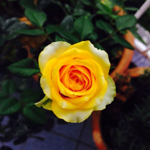 Still alive Flowerhead Close-up Beauty In Nature Malaysia Malaysia Truly Asia Day Yellow Yellowrose Roseflower Rosé Rose🌹 Rosé