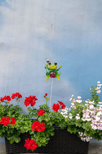 Flower Flowering Plant Plant Freshness Fragility Vulnerability  Growth Beauty In Nature Nature Day No People Petal Red Close-up Flower Head Outdoors Potted Plant Inflorescence Pink Color Architecture Flower Pot Flower Arrangement Lustig Wetterfrosch Pelargonienblüten Wolken Und Himmel