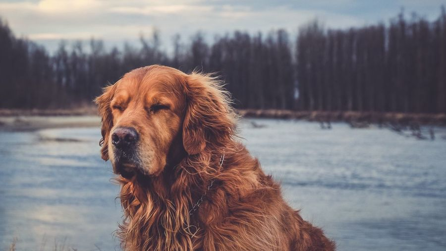 Domestic Animals Dog Pets Animal Themes Mammal One Animal Golden Retriever Brown Outdoors Cold Temperature Lake No People Close-up Retriever Day Nature Water Golden Retriever EyeEm Best Shots Fujifilm_xseries Pet Portraits