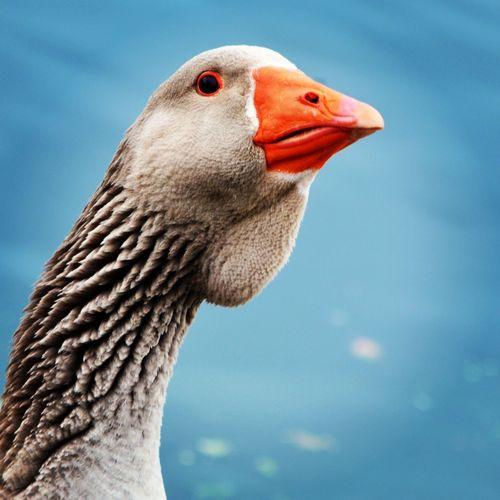 Empress Goose~ Neuchatel Switzerland Eye4photography  Taking Photos EyeEm Nature Lover EyeEm Masterclass