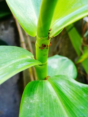 Ants At Work Antslife Ants On The Go! Antsirabe Antsphotography Antsworld Ants Feasting Ants Colony Green Color Leaf Close-up Nature Growth Freshness Plant No People Outdoors Beauty In Nature Day Huaweiphotography P9LitePhilippines