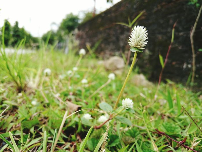 beside of beauty Flowers Old Wall Beside Old Wall Flower Nature Uncultivated Fragility Beauty In Nature Plant Wildflower Close-up Flower Head Outdoors Meadow Growth Focus On Foreground Field Springtime No People Day Grass Landscape Summer