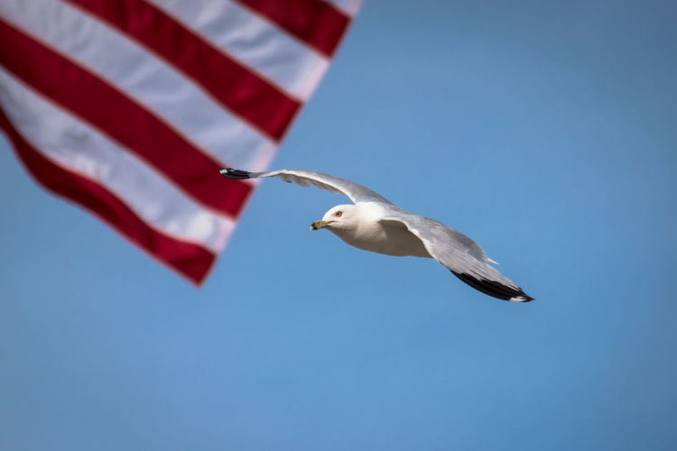 Close-up of seagull flying against american flag
