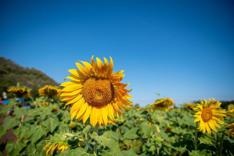 ดอกทานตะวัน Flower Head Flower Clear Sky Rural Scene Blue Sunflower Yellow Beauty Summer Petal