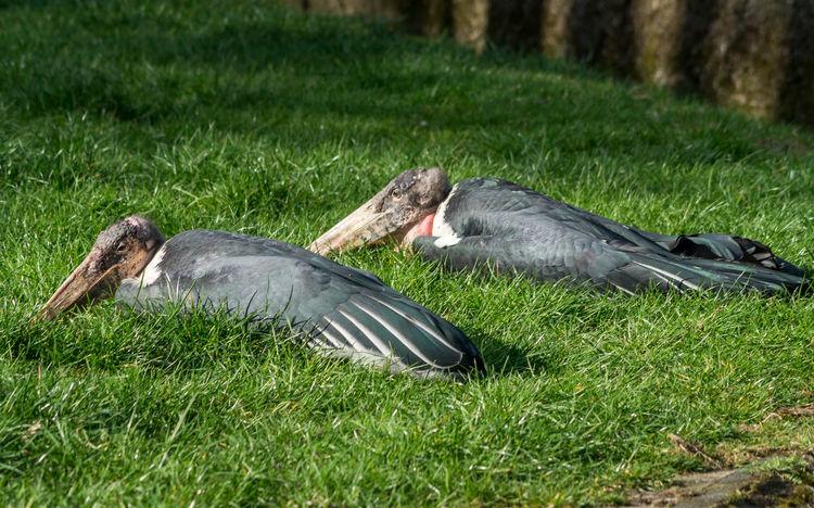 Relaxing Marabus Animal Themes Bird Close-up Day Grass Grassland Green Color Lawn Marabu Marabu Stork Nature No People One Animal Outdoors Side View Sunlight