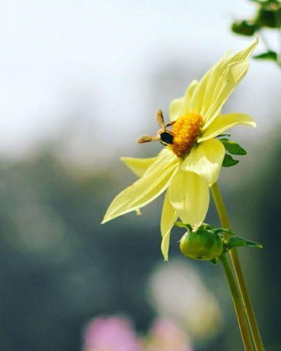 Flower Bee Beeandflower Blooming Nikon Insect