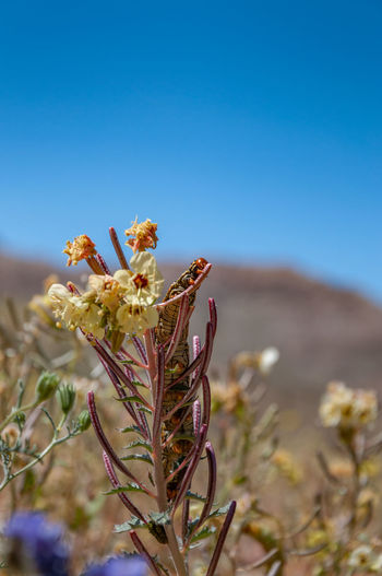 Anza Borrego Desert Flowers Plant Growth Beauty In Nature Sky Flower Nature Vulnerability  Close-up Fragility Flowering Plant No People Land Blue Day Clear Sky Focus On Foreground Freshness Field Copy Space Selective Focus Outdoors Flower Head Anza Borrego