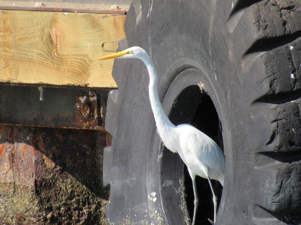 Black And White Color Large Tire Snowy White Egret Wildlife & Nature Wooden Structure Yellow Beaked Bird
