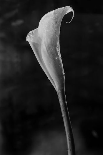Beauty In Nature Calla Close-up Contrasto Day Fine Art Photography Fragility Nature No People Outdoors