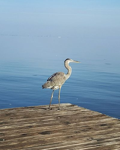 Grey heron perching on pier in mobile bay