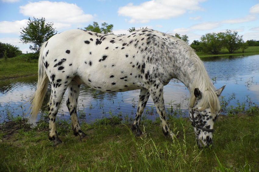 Black And White Horse Horse Grazing Appaloosa Horse Horse Photography