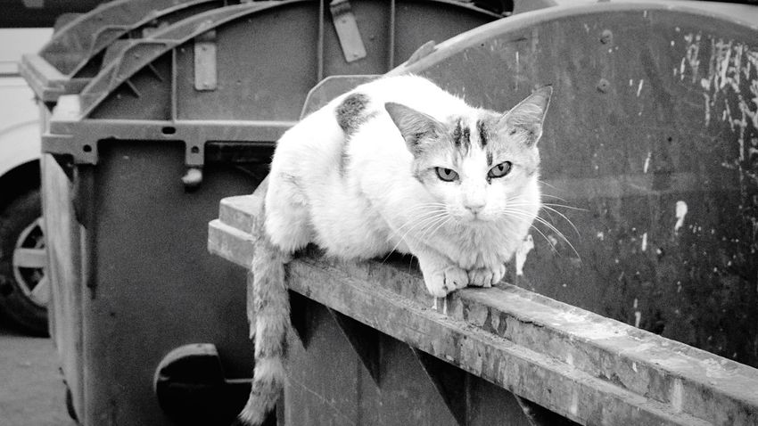 stray cat Domestic Cat Pets Domestic Animals No People Animal Themes Looking At Camera Portrait Mammal Outdoors Feline Day Close-up