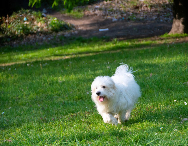 White dog running on field