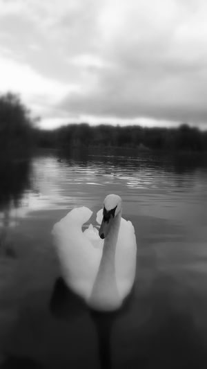 Beautiful Swans Beauty In Nature Lake Lake View Nature Nature Photography Nature_collection Naturelovers Swans Swans On The Lake Water Water Reflections Blackandwhite Blackandwhite Photography