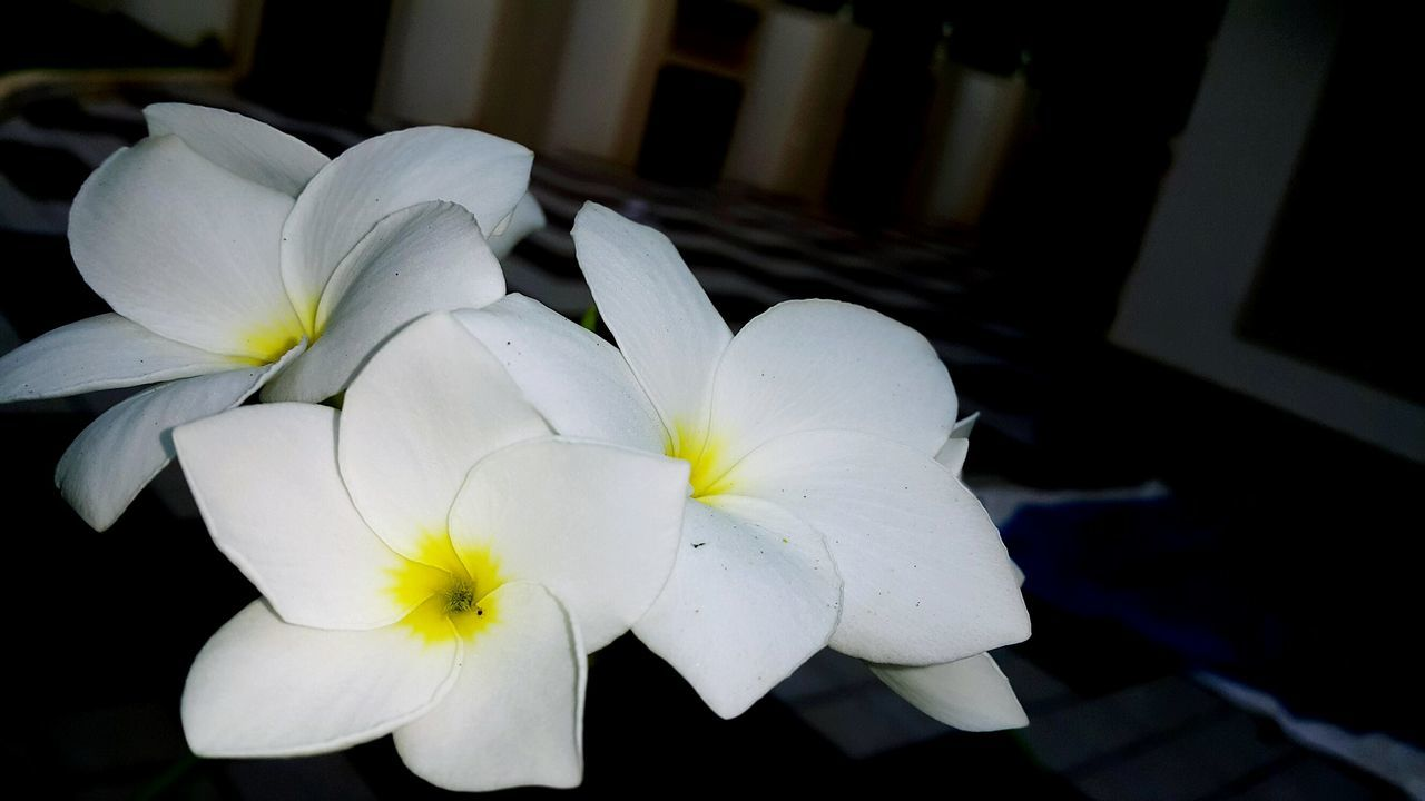 flower, petal, flower head, white color, beauty in nature, fragility, freshness, close-up, nature, blooming, night, frangipani, no people, outdoors