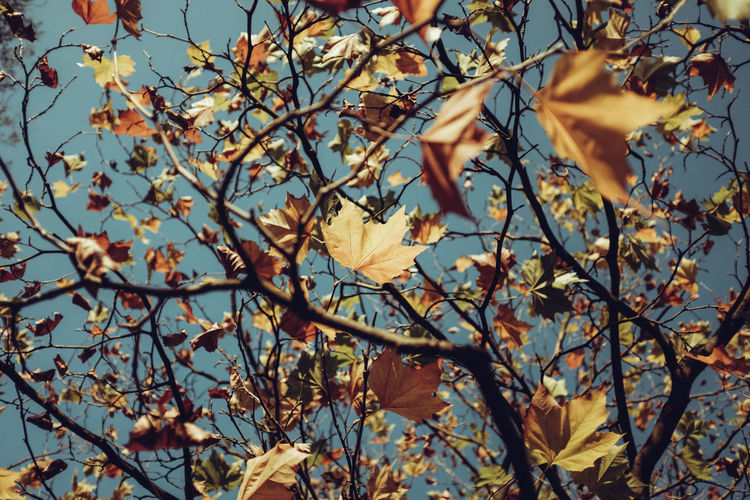 Low angle view of dry leaves on tree