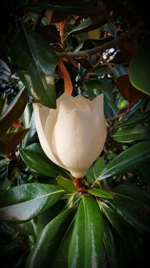Magnolia Grandiflora Flower Nature Beautiful Outdoors Summer Southern Flower Leaves Full Flower EyeEm Nature Lover EyeEm Flower