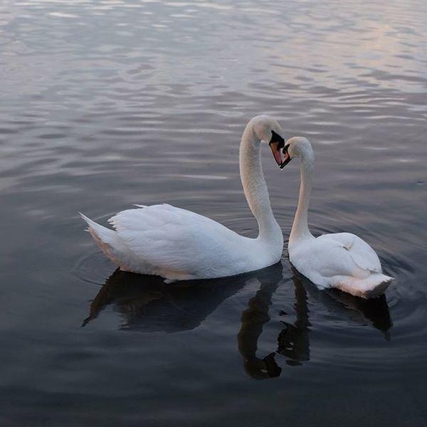 Swans Kiss The Serpentine, Hyde Park, London Swans London Londonphotographer London4all Prettycitylondon Reflections Love Kiss Theserpentine Hydepark Royalparks