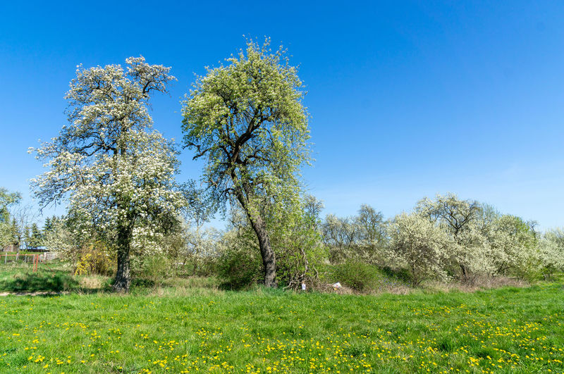 Trees during springtime Springtime Blossoms Blossom Blooming Spring Tree Flower Clear Sky Flower Head Blue Summer Sky Grass Plant Green Color Botany In Bloom Apple Blossom