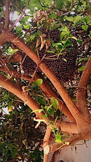 Beehive in our Lemontree