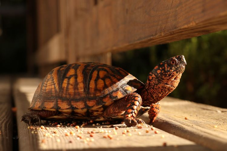 Close-up of tortoise on table