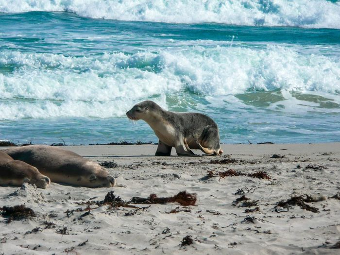 Kangaroo Island Sea Animals In The Wild Mammal Animal Wildlife Water Animal Themes Day Outdoors Nature No People Beach Wave