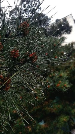 Fir Trees Fir Tree Melancholia Fir Tree Farm Fir Pinecone Cones Coneflowers Nature Photography Rainy Season Outdoors Beauty In Nature Plants 🌱 From My Point Of View Dreamer's Vision Rainy Morning Water Drops On Leaves Water Drops Trees And Water Coniferous Trees Coniferous Conifer Dropping. Morning Walk Morning Mood EyeEm Nature Lover EyeEm Gallery