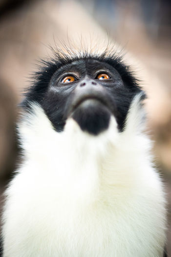 Diana monkey (Cercopithecus diana) looking up. Cercopithecus Diana Diana Monkey Monkeys Animal Animal Family Animal Head  Animal Wildlife Blackandwhite Close-up Curious Diana Focus On Foreground Look Up Looking Mammal Monkey Nature No People One Animal Outdoors Portrait Primate Vertebrate White Color