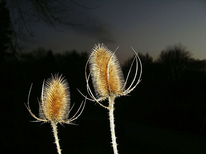 Wilde Karde (Dipsacus fullonum) = wild teasel (english) Teasel Distel Dipsacus Fullonum Wilde Karde Wild Teasel Night Outdoor Recklinghausen Plant Flower Close-up Nature No People Growth Outdoors Beauty In Nature Thistle