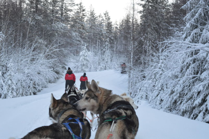 Rear View Of People With Dogsledding On Field During Winter