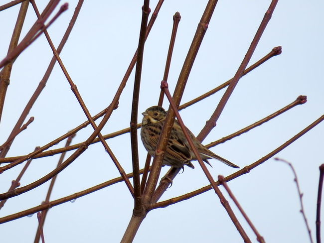 Linnet Bird Animals In The Wild Low Angle View Perching Nature Outdoors