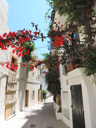 Ibiza town, historic city or Dalt exterior with blooming Bourgainvillea flowers. Bourgainvillea Historic City Ibiza Ibiza, Spain Old Twon Road Alley Architecture Building Building Exterior Building Exteriors Built Structure Dalt Vila Day Flower Flowering Plant Flowers Ibiza Town Lane Nature No People Outdoors Plant Selective Focus Street