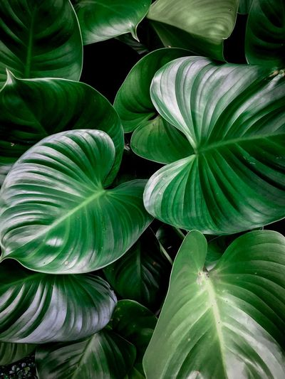 Green Color Full Frame Leaf Plant Part Plant Backgrounds Growth Nature Green Pattern Beauty In Nature