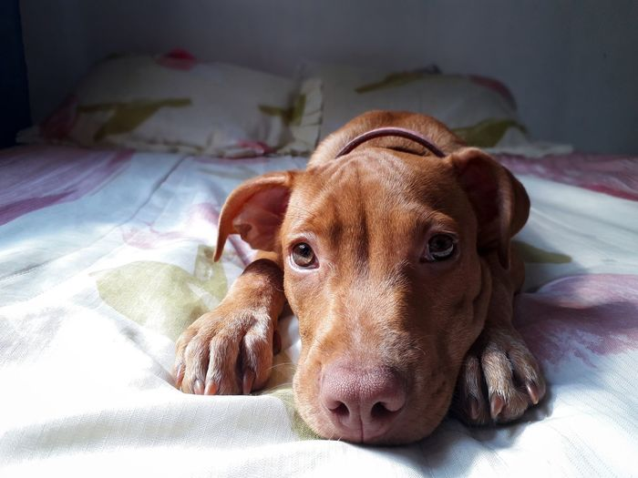 Close-up portrait of a dog resting on bed