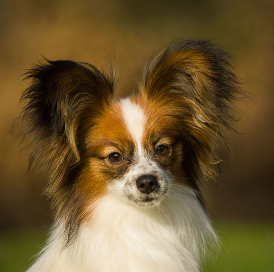 Papillon dog Animal Animal Themes Canine Cute Dog Domestic Domestic Animals Lap Dog Looking At Camera No People One Animal Papillon Pets Portrait Small