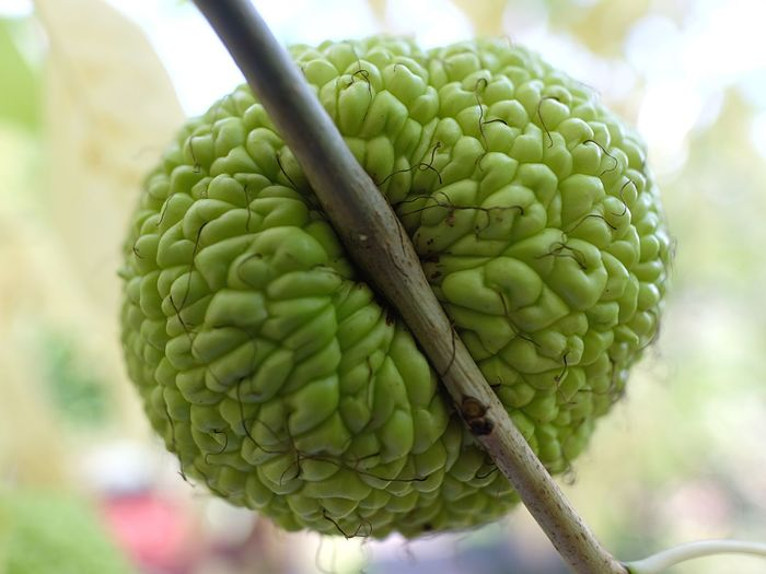 Hedgeapple Seltene Art Filstal Uhingen Green Fruit Beautiful Fruits Migrant Exote Frisches Grün Stuttgart Badenwürttemberg Fujinon 16mm F1.4 Hedgeapple Osage Orange Milchorange Close-up Green Color Focus On Foreground Plant Food And Drink No People Growth Freshness Fruit Nature