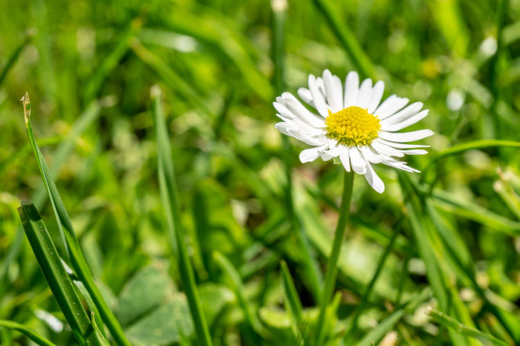 daisy flower in the green grass Flower Flowering Plant Plant Freshness Fragility Vulnerability  Daisy Day Field Green Color Inflorescence Flower Head White Color Beauty In Nature Growth Petal Close-up Nature Pollen No People Outdoors Springtime Blade Of Grass EyeEm Nature Lover EyeEm Best Shots Nature_collection Macro Macro Photography