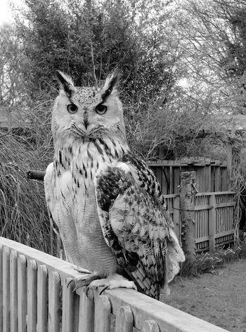 Eagle owl Eagle Owl  Bird Bird Of Prey Owl Bird PhotographyEuropean Eagle Owl