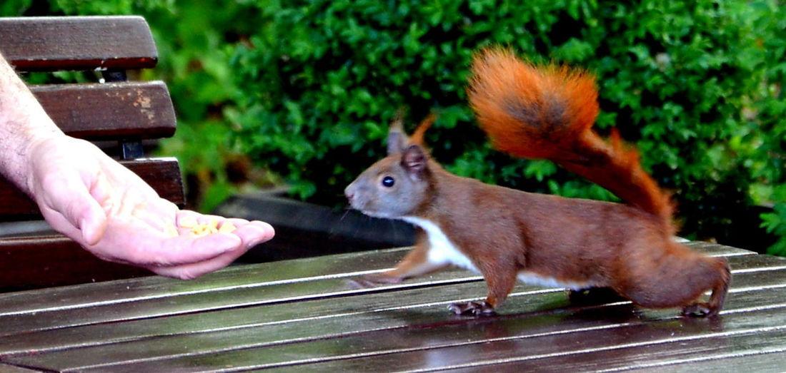 Human Hand Animal Wildlife Animalphotography Squirrel Squirrel Closeup One Animal Tierfotografie Pet Animal Themes Lustig Funpics Eichhörnchen Futterzeit Feed Time