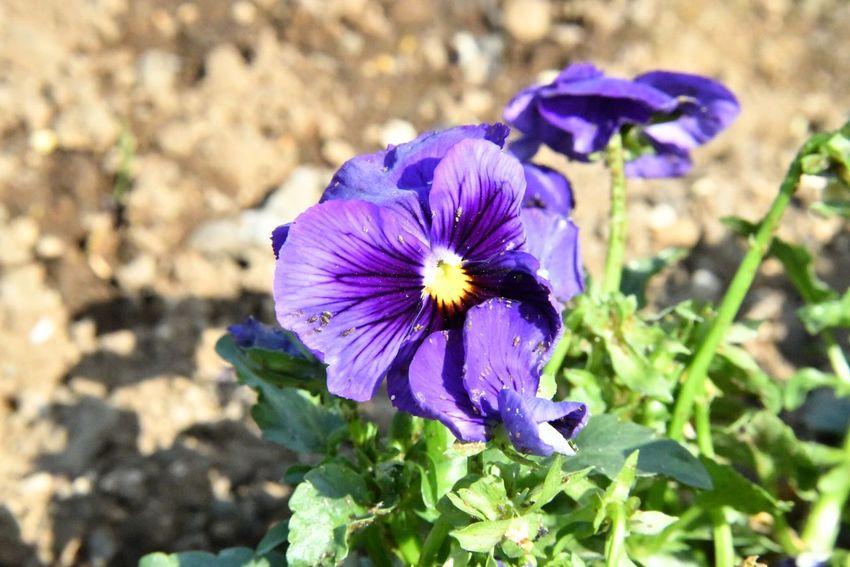 Flowering Plant Flower Petal Plant Freshness Fragility Purple
