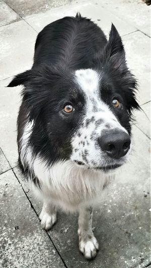Dog Summer Dogs Border Collie sheepdog Intelligence Walkies Hurry Up ! Are you ready yet