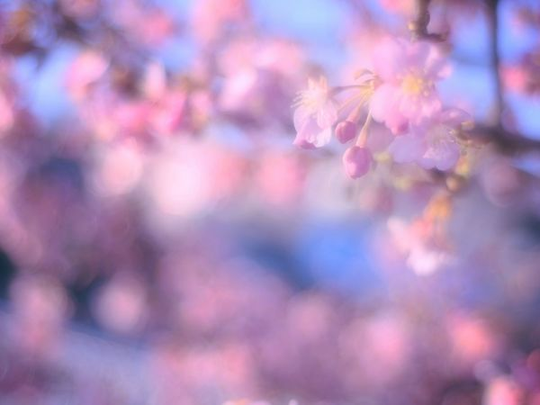 Hazy Hazy  Hazy DaysShowcase March Relaxing Japan Blossom Spring Time Bokeheffect Spring 梅 Plum Bokeh Takumar Colorful Spring Colours Colors Dreamfantasy Airy Pink Airy Flowers Fleshyplants
