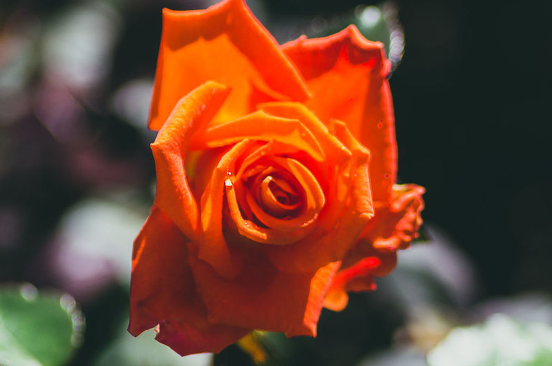 the Scarlet rose Scarlet Scarlet Rose Beauty In Nature Close Up Close-up Closeup Day Flower Flower Head Flowering Plant Focus On Foreground Fragility Freshness Growth Inflorescence Nature No People Orange Color Outdoors Petal Plant Rosé Rose - Flower Rosé Vulnerability